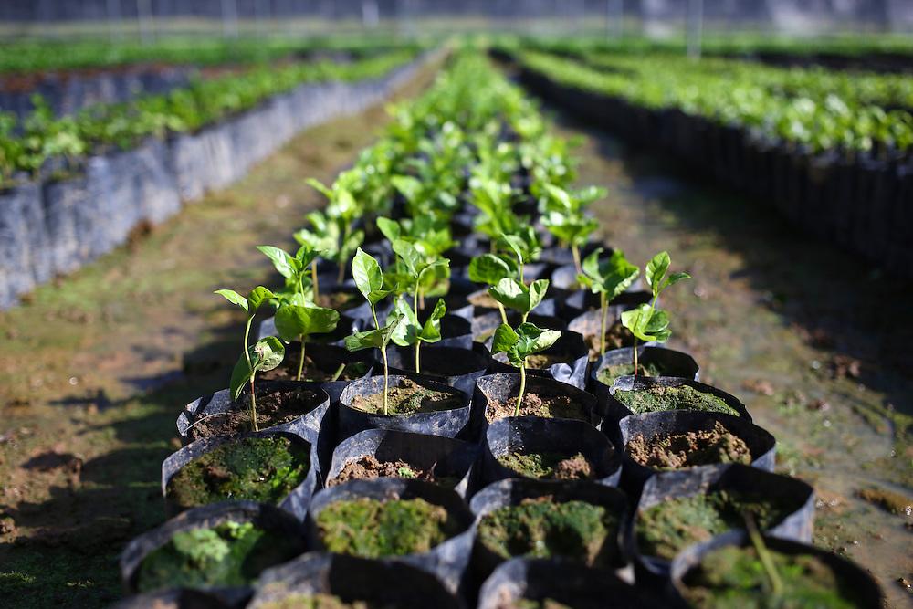 Seedlings are shown in the Jaltenango coffee tree nursery in Chiapas, Mexico. (Joshua Trujillo, Starbucks)