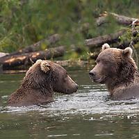 Close-up of two adult brown bears playful in water, Katmai National Park, Alaska