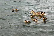 Family of Ducks floating around the man-made pond at Kiwanis Park, in Tempe Arizona