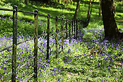 Bluebells on Hampstead Heath, north London
