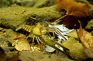 Longpincered Crayfish<br /> <br /> ENGBRETSON UNDERWATER PHOTO