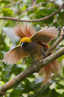 Goldie's Bird of Paradise.(Paradisaea decora) male displaying at lek..