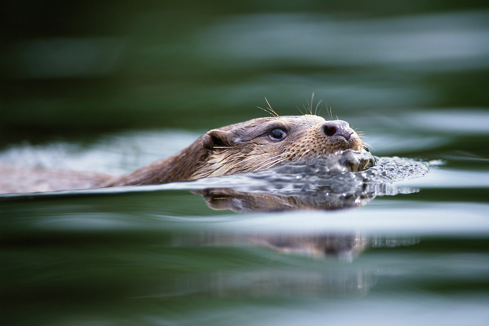SWIMMING OTTER FROM WATER LEVEL