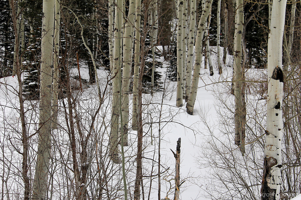USA, Colorado, Beaver Creek. Scenic trees in winter snow.