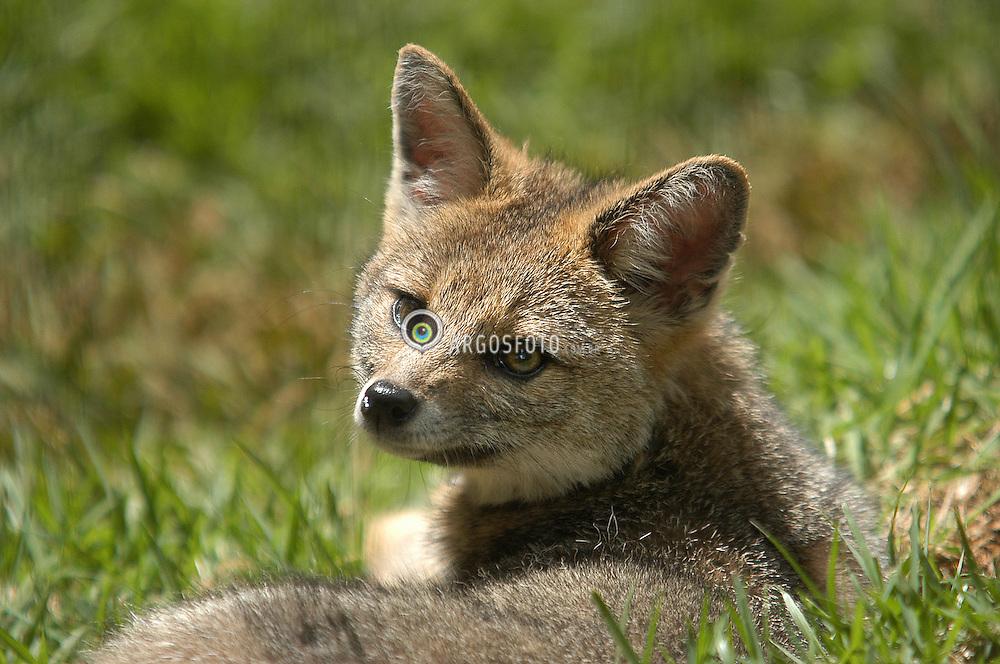 Graxaim ou sorro (Pseudalopex gymnocercus) mamifero carnivoro da ... Zoology Pictures Animals