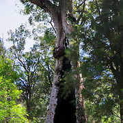 """The Giant Tingle Tree is the largest known living eucalypt in the world, measuring 24 meters in circumference at the base. See it in Walpole-Nornalup National Park on the Bibbulmun Track, which starts on Hilltop Road between Walpole and Nornalup, in Western Australia. The inside of the base is burnt out from severe fires of 1937 and 1951, but the tree still lives and grows from tissue under the outer bark. Red Tingle trees (Eucalyptus Jacksonii) are only found in and around Walpole-Nornalup National Park, nowhere else on earth.  Growing up to 75 meters or more tall, with circular girth of up to 26 meters, Red Tingle trees can live over 400 years. Panorama stitched from three overlapping images. Published in """"Light Travel: Photography on the Go"""" book by Tom Dempsey 2009, 2010."""