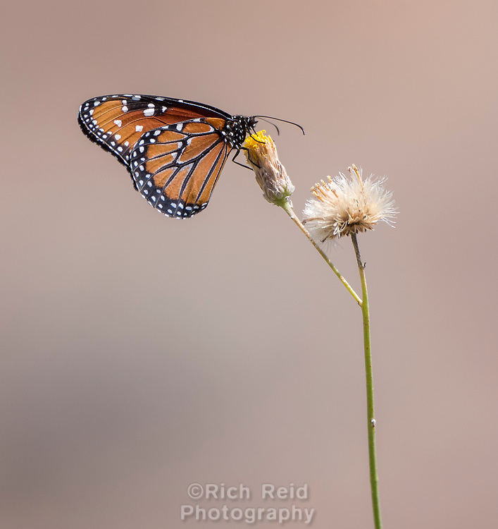 Queen Butterfly on Isla San Marcos in Baja California Sur, Mexico.