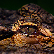 An alligator keeps a watchful eye on his environment while relaxing in the South Florida sun within the Everglades.