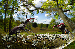 Rivals Stag beetle (Lucanus cervus) two males displaying aggressive behaviour on oak tree branch. Biosphere Reserve 'Niedersächsische Elbtalaue' (Lower Saxonian Elbe Valley), Germany |