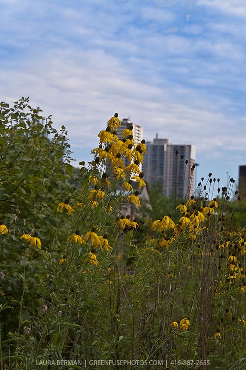 Urban landscape with native perennials. Black-eyed Susan ( Rudbeckia) .