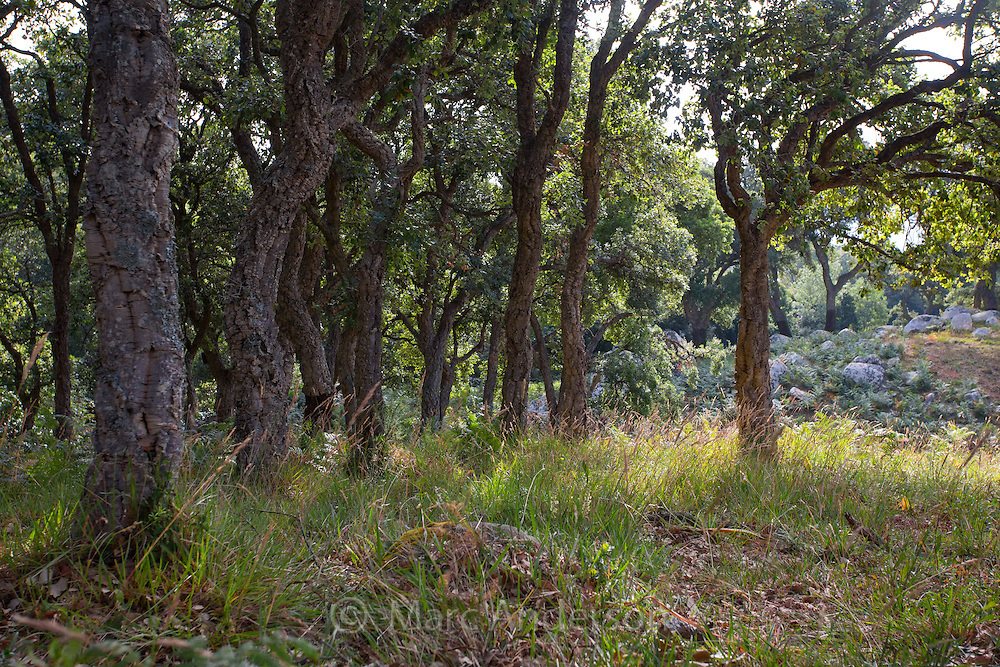 Cork tree (Quercus suber) forest in the Alcornocales Natural Park, Cadiz province, Andalucia, Spain