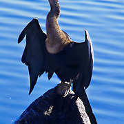 A proud anhinga spreads its wings in order to dry them in the Florida sunshine, Everglades National Park, FL.