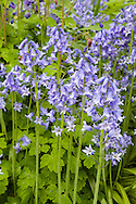 Bluebells and aquilegias - photographed in mid-May