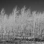Aspens - Oxbow Bend, WY - Infrared Black & White