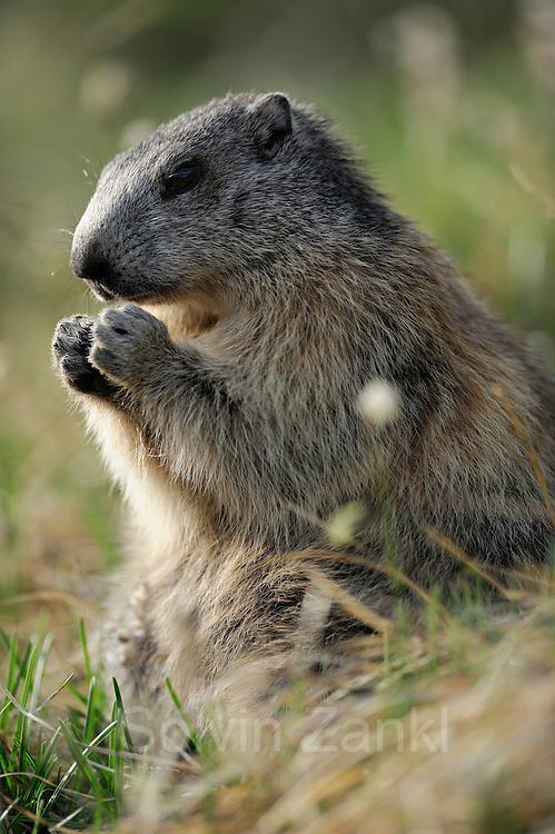 Alpenmurmeltier (Marmota marmota) Nationalpark Hohe Tauern, Österreich.
