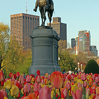 Boston city landmark photography of the equestrian bronze statue of George Washington in the Boston Public Garden on a late afternoon surrounded by blooming tulips in all colors.<br />