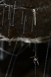 Mayfly caught in the sticky silk threads from the larvae of the fungus gnats (Arachnocampa luminosa). The larvae will pull up the silk to eat the mayfly. Glowworm cave near Waitomo Cave, New Zealand. Close to Te Kuiti. | Die  etwa 6 cm lange Larve der Pilzm&uuml;cke Arachnocampa luminosa hat anhand der Vibrationen an einer ihrer h&auml;ngenden Fangleinen ein gefangenes Beutetier lokalisiert. Sie hat sich in ihrem ausgedehnten Netzsystem an der H&ouml;hlendecke zu dem richtigen Seidenfaden begeben und beginnt, ihn St&uuml;ck f&uuml;r St&uuml;ck nach oben zu hieven, wobei sie den Faden auffrisst.<br /> Arachnocampa luminosa ist eine von etwa 3000 Pilzm&uuml;ckenarten weltweit und lebt an feuchten, dunklen Stellen (H&ouml;hlen und &Uuml;berh&auml;nge) in Neuseeland. Die Waitomo Cave und H&ouml;helsysteme nahe der Ortschaft Te Kuiti sind bekannt f&uuml;r die leuchtenden Larven.