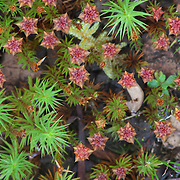 Ground plants, Wayqecha Cloud Forest Biological Station, Andes Mountains, Peru