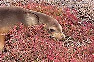 Galapagos Sea Lion (Zalophus californianus wollebaeki or Zalophus wollebaeki)  in Galapagos Carpet Weed (Sesuvium sp.)<br /> ECUADOR: Galapagos Islands<br /> Plazas Island<br /> 19-Aug-2010<br /> J.C. Abbott &amp; K.K. Abbott