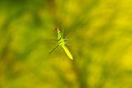 Green Mantisfly (Zeugomantispa minuta) flying<br /> United States: Alabama: Tuscaloosa Co.<br /> Tulip Tree Springs off Echola Rd.; Elrod<br /> 4-Oct-2016<br /> J.C. Abbott #2872 &amp; K.K. Abbott