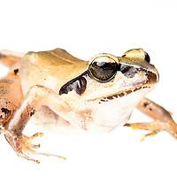 Leptodactylus apiplaris from Ranomafana