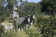 Three common zebras (Equus burchelli) standing on a termite mound.