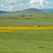 The poppy flowers blooming along the grassy meadows outside of Springerville, Arizona.