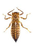 Sarracenia Spiketail (Cordulegaster sarracenia) - F1 nymph<br /> TEXAS: Jasper Co.<br /> Boykin Springs Recreational Area; Angelina National Forest<br /> Pitcher Plant Bog on gas pipeline easement<br /> 15-Mar-2015<br /> J.C. Abbott #2679 &amp; K.K. Abbott
