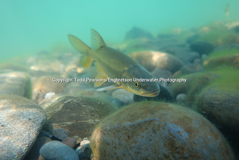 Northern pikeminnow engbretson underwater photography for Todd s tropical fish