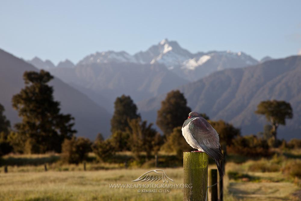 New Zealand Wood Pigeon, Fox, West Coast