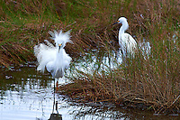 Two Snowy Egrets Hunting along Black Point Wildlife Drive in Merritt Island National Wildlife Refuge. Image taken with a Nikon D4 and 300 mm f/2.8 lens (ISO 100, 300 mm, f/8, 1/200 sec).