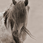 Wild Hart Mountain Stallion