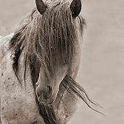 Wild Hart Mountain Stallion