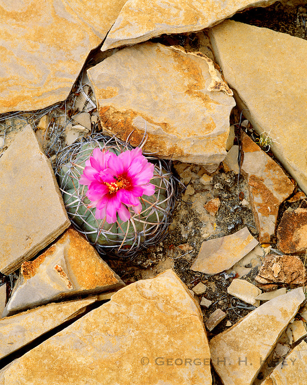 0501-1007 ~ Copyright:  George H. H. Huey ~ Eagle claw cactus [Echinocactus horozonthalonius], growing amidst limestone.  Chihuahuan Desert.  Big Bend National Park, Texas.