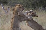 Juvenile African lions at play, Botswana