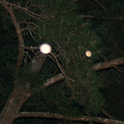 A bright salmon colored orb and a smaller orangeish orb floating up in the pine trees at dark.