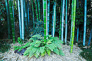 Bamboo in Japanese Garden at The Huntington, San Marino, California