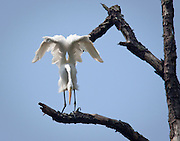 An egret perches and preens in a dead pine tree along Eagle Cove of the May River near Bluffton, SC.