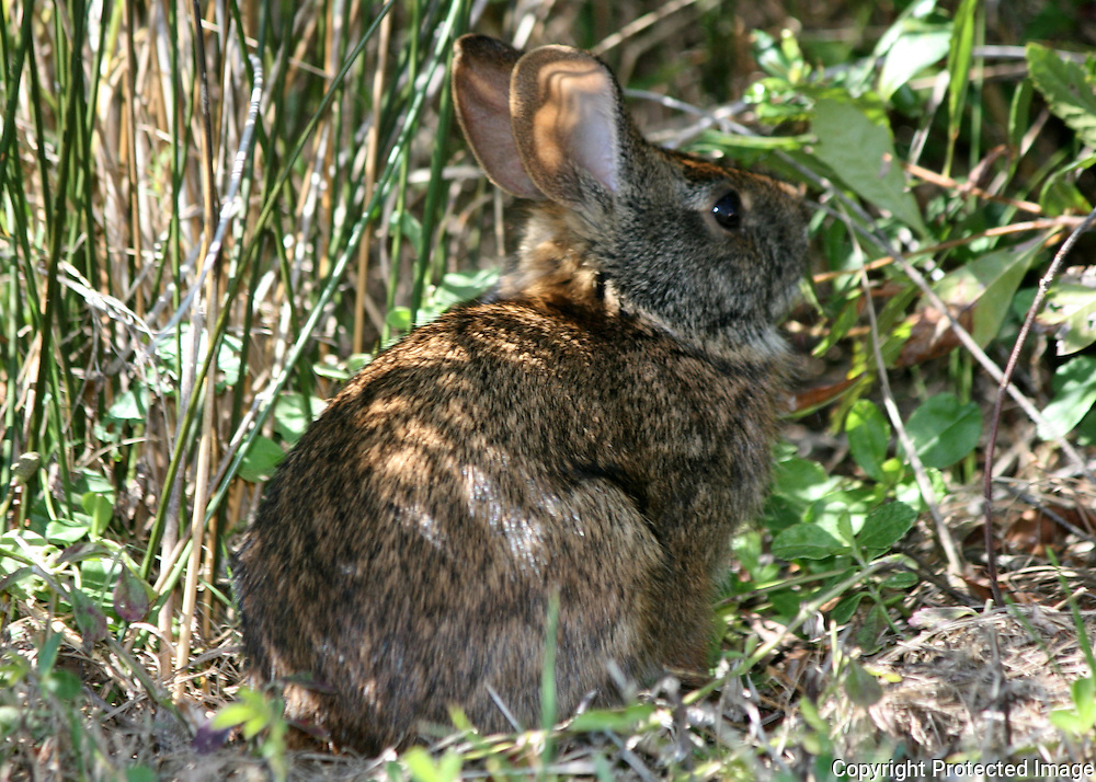 Jekyll Island swamp rabbit