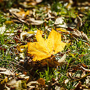 2012: Dublin, Ireland. The warm Autumn Sun shines through a yellow fallen leaf which stands up in a patch of grass among other fallen leaves