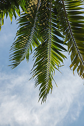 detail of a Palm Tree against the sky