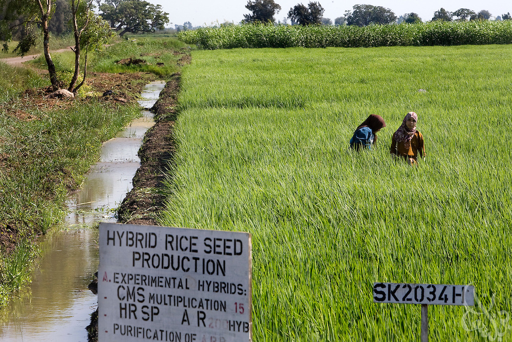 Egyptian girls work August 05, 2008 in an agricultural research field near Sakha, Egypt 130 kilometers NW of Cairo.  Egypt currently uses an estimated 80% of it's total available fresh water for purposes of irrigation.