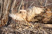 A cottonwood felled by an American Beaver (castor canadensis), Missoula, Montana