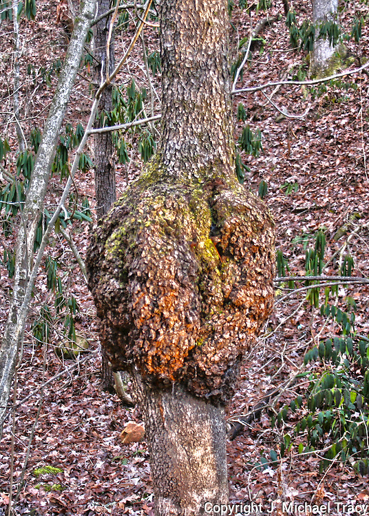 Large burl on small oak tree in the North Georgia Mountains.