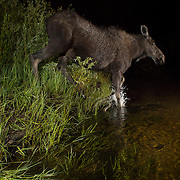 A yearling moose (Alces americanus) crosses the Big Hole River in the Big Hole National Battlefield at 1:30am. Photographed via permit from the National Park Service. © Michael Durham.