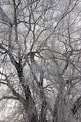A large willow tree rests naked in the winter with only a thin veil of fog created frost covering its wispy limbs