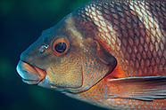 Cheilodactylus spectabilis (Red moki)