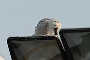 Snowy Owl Pellet Regurgitation