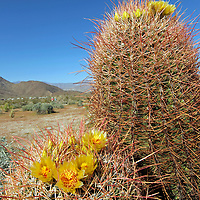 USA, California, San Diego County. Blooming Barrel Cactus at Anza-Borrego Desert State Park.