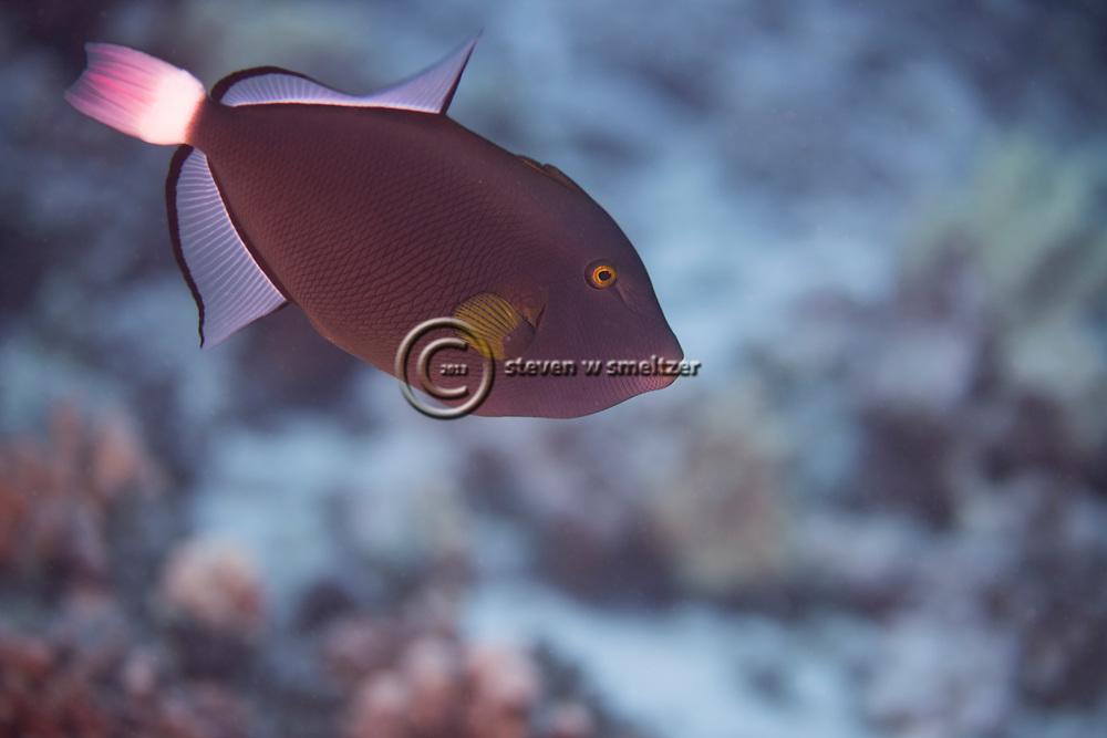 Pinktail Triggerfish, Melichthys vidua, (Richardson, 1845), Maui Hawaii
